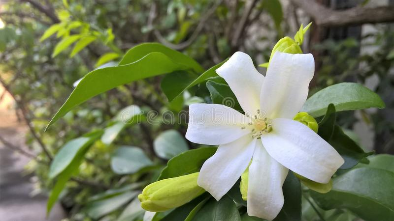 Orange Jasmine Flower stock photos
