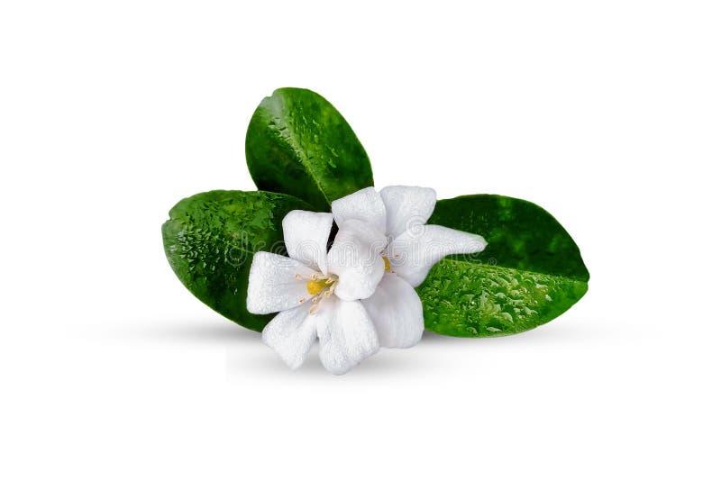 Orange jasmine flower isolated on white royalty free stock photo