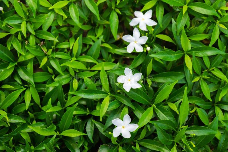 Orange Jasmine royalty free stock image