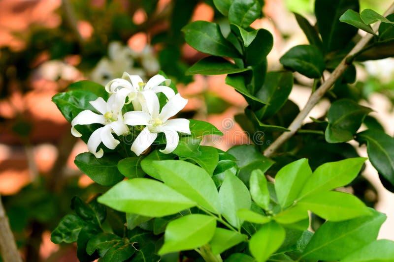 Orange jasmine stock image image of murraya tree flowers 77062085 download orange jasmine stock image image of murraya tree flowers 77062085 mightylinksfo
