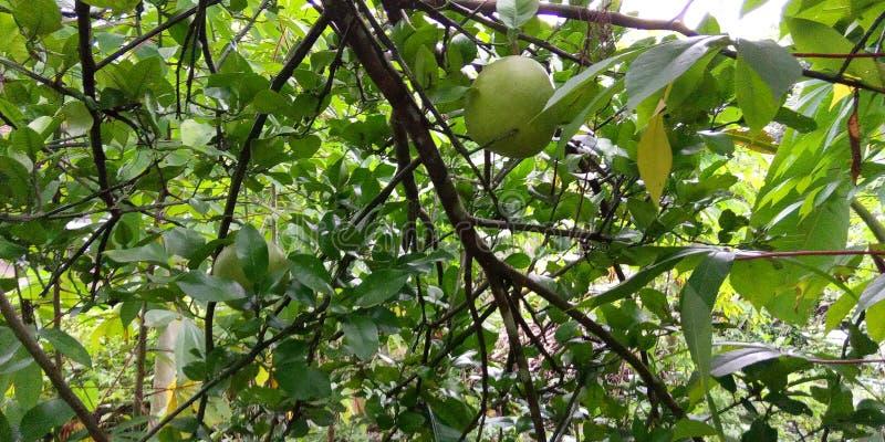 orange Java-Früchte stockbilder