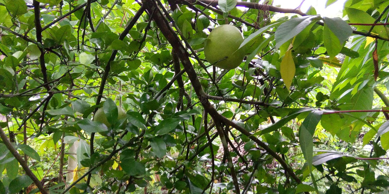 Orange java fruits stock images