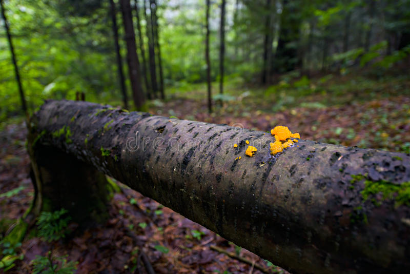 Orange Jelly Fungi on a Fallen Tree. In a forest. Shallow depth of field stock photos