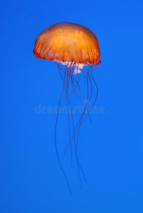 Download Orange jellyfish stock photo. Image of colourful, jellyfish - 26634888