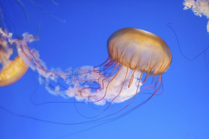Orange jellyfish. Chrysaora fuscescens or Pacific sea nettle in blue ocean water royalty free stock photos