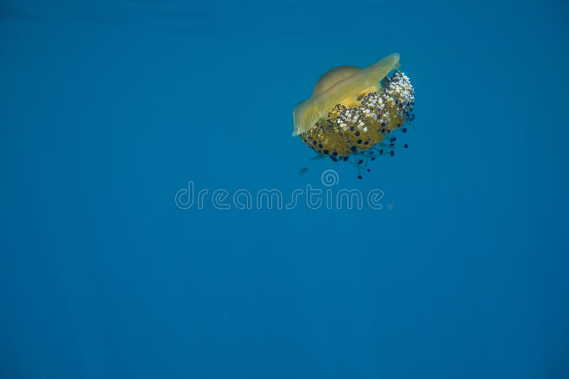 Orange Jellyfish. Under water with purple tentacles royalty free stock photos