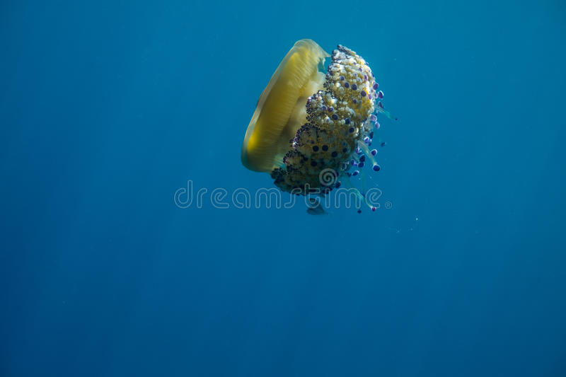 Orange Jellyfish. Under water with purple tentacles stock images