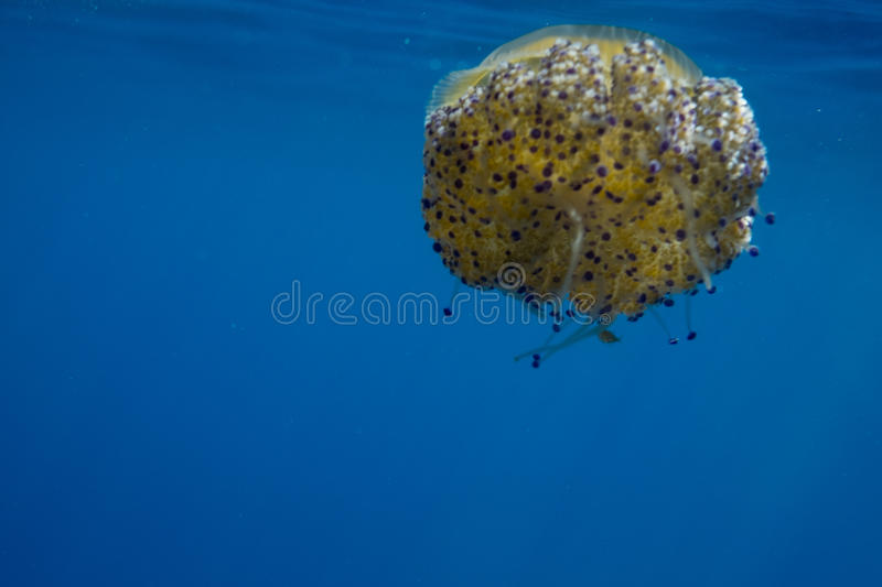 Orange Jellyfish. Under water with purple tentacles stock image