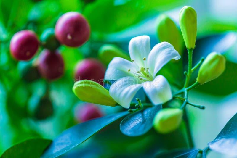Orange Jessamine Murraya-paniculata Weiße Blumen Stockbild - Bild ...