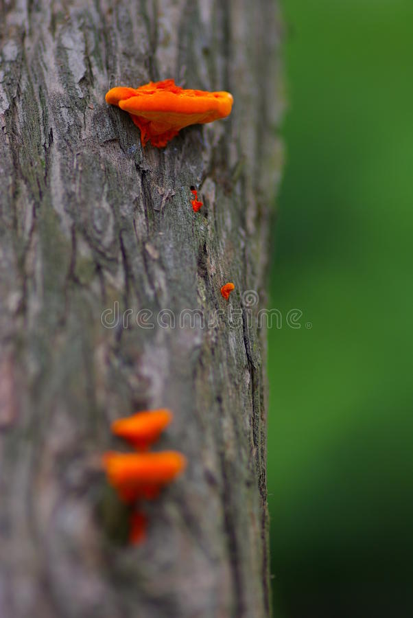 Download Orange Jew's Ear stock image. Image of growing, judas - 18708535