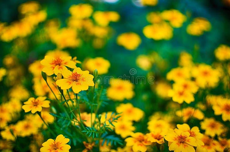 Orange juice flowers grow in the fresh air stock photo