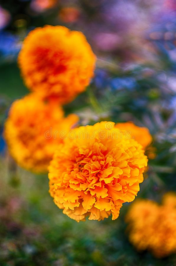 Orange juice flowers grow in the fresh air stock photography