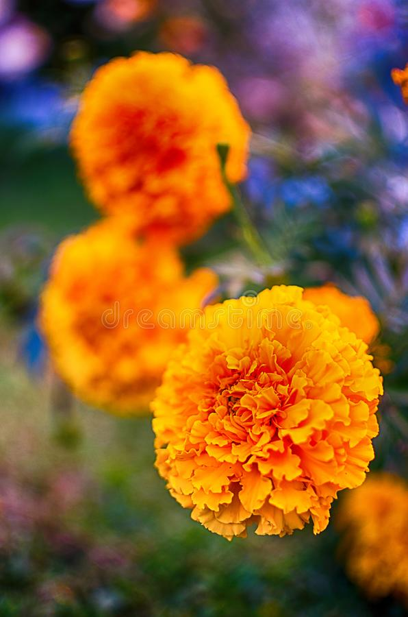 Orange juice flowers grow in the fresh air royalty free stock photos