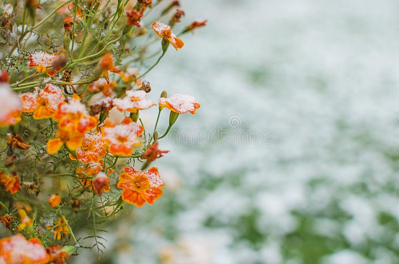 Orange juice flowers grow in the fresh air royalty free stock photography