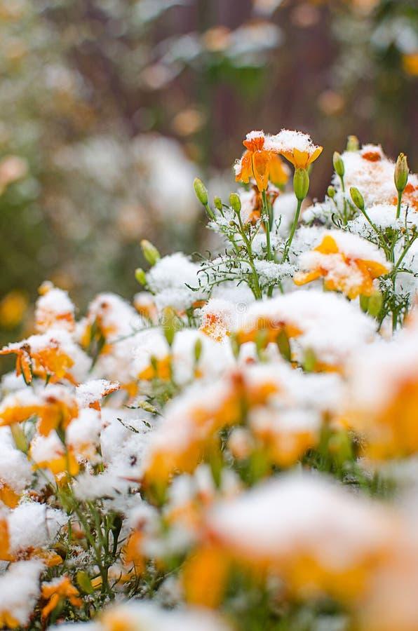 Orange juice flowers grow in the fresh air royalty free stock photo