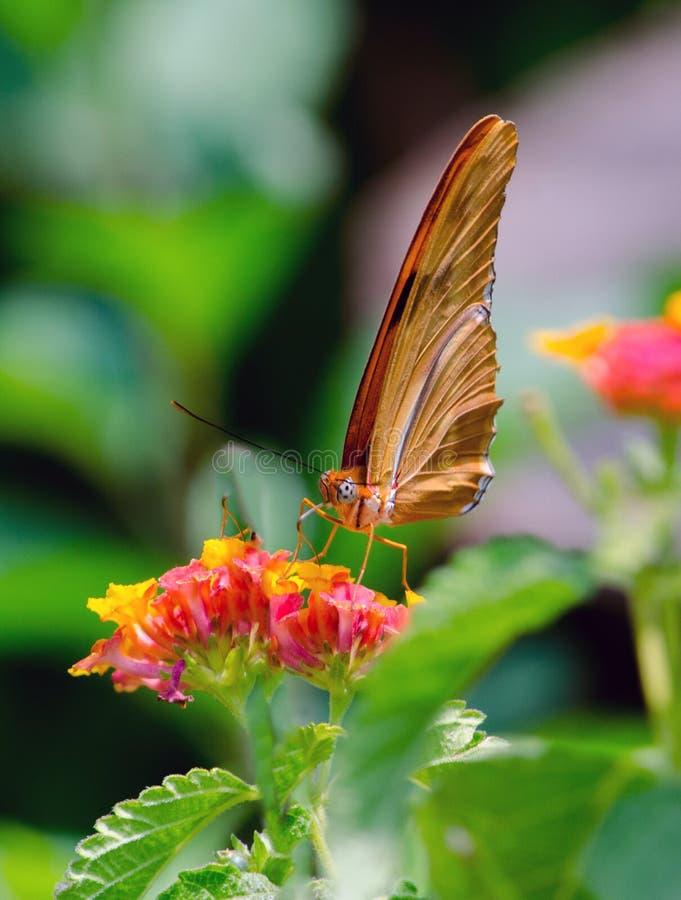 Orange Julia-Schmetterlingshilfen bestäuben eine Blume im Garten stockfotos