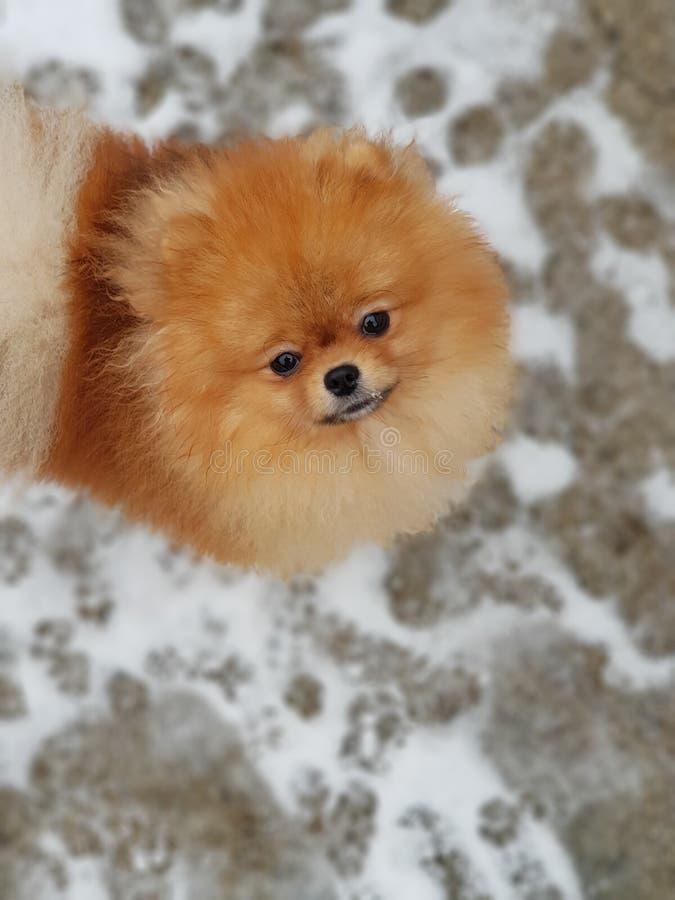Orange junges Pomeranian im Schnee lizenzfreie stockfotografie