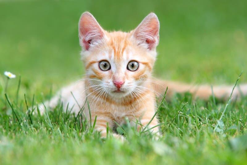 Orange Kätzchen stockbild