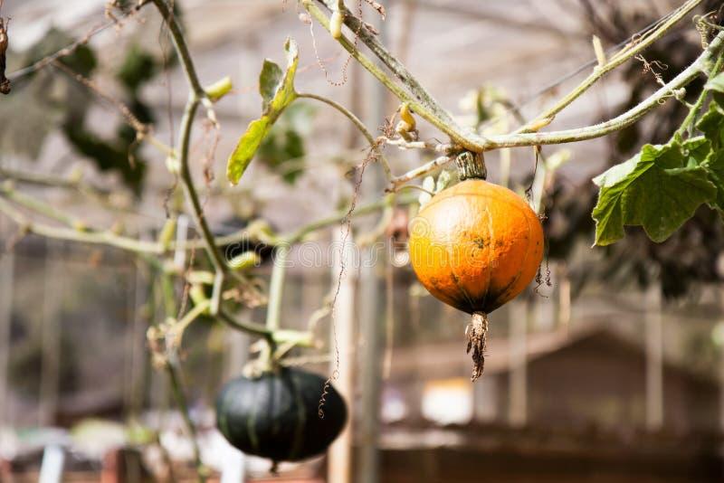 Orange Kürbis auf den Bäumen lizenzfreie stockfotografie