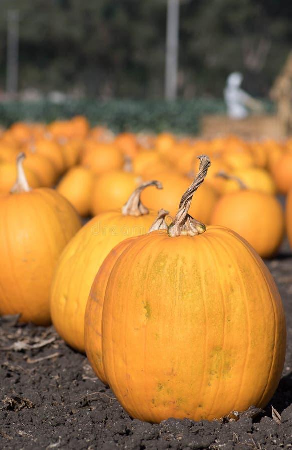 Orange Kürbis-Flecken für Halloween oder Erntedankfest lizenzfreie stockfotografie