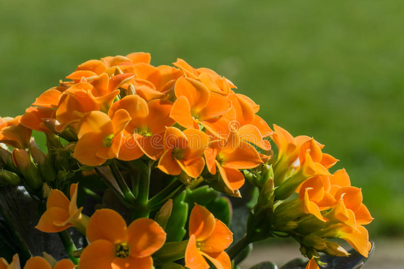 Orange kalanchoe in full bloom. With green leaves royalty free stock photography
