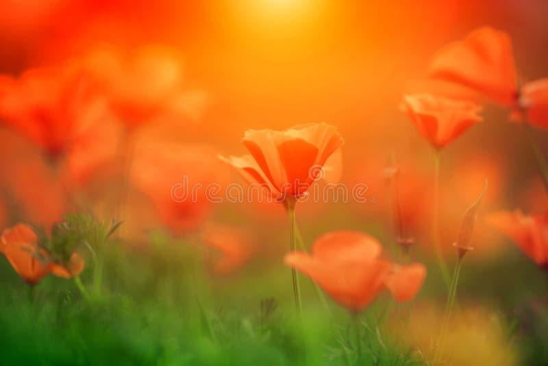 Orange Kalifornien-Mohnblume in der Sonne stockbild