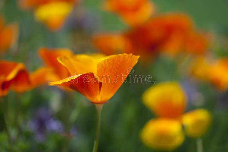 Orange Kalifornien Poppy Flower Closeup stockbild