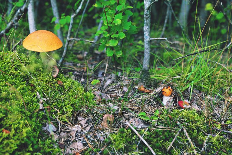 Orange Kappe Bolete stockfoto