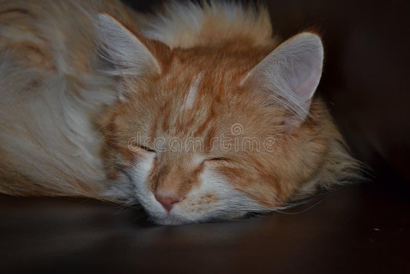 Orange katt fotografering för bildbyråer