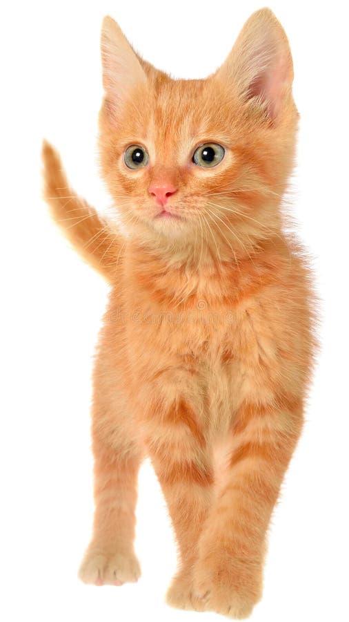 Orange kitten goes. On a isolated royalty free stock image
