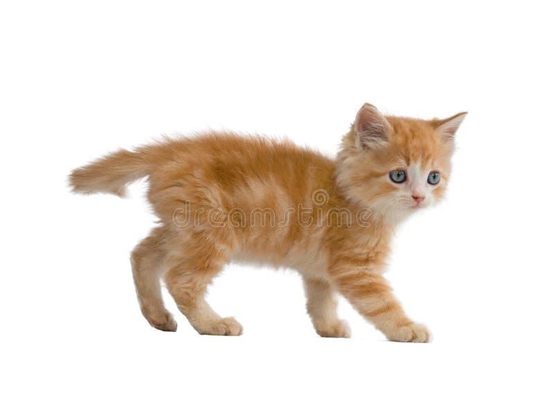 62 026 Orange Kitten Photos Free Royalty Free Stock Photos From Dreamstime