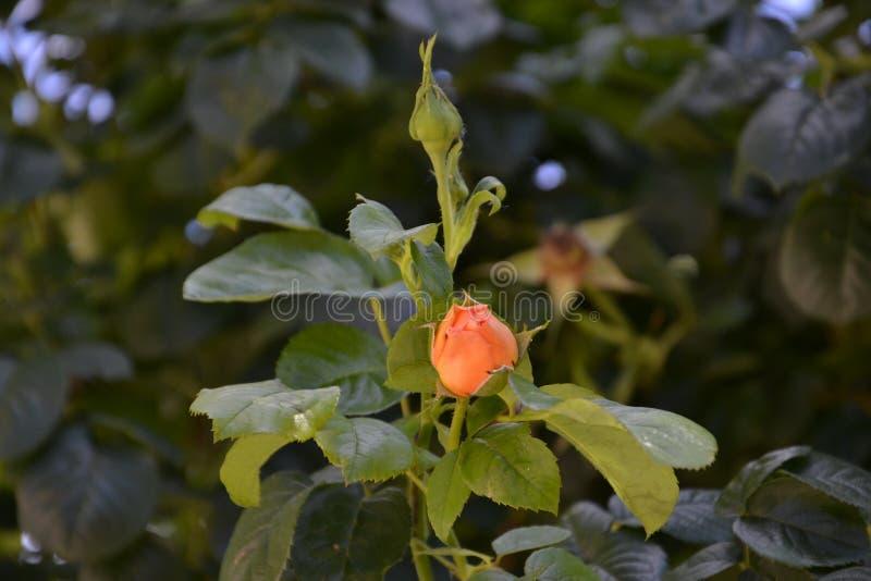 Orange Knospe stockbild