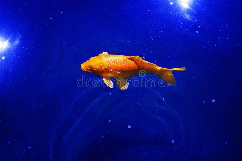 Orange koi carp fish on navy blue sea background closeup, red goldfish swims in pond at dark night, moonlight glow and shiny stars. Artistic fantasy galaxy stock photos