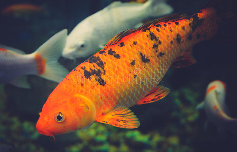 Orange koi carp stock image image of asian nature for Carpe koi aquarium 300 litres