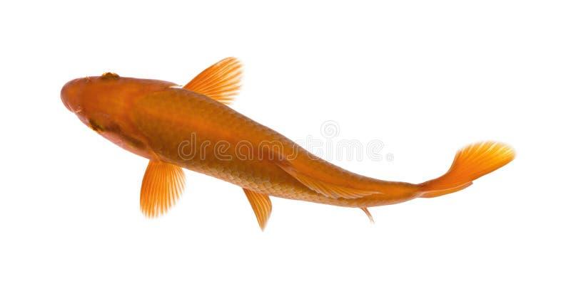 Orange koi fish, Cyprinus Carpio, studio shot. Orange koi fish, Cyprinus Carpio, against white background, studio shot
