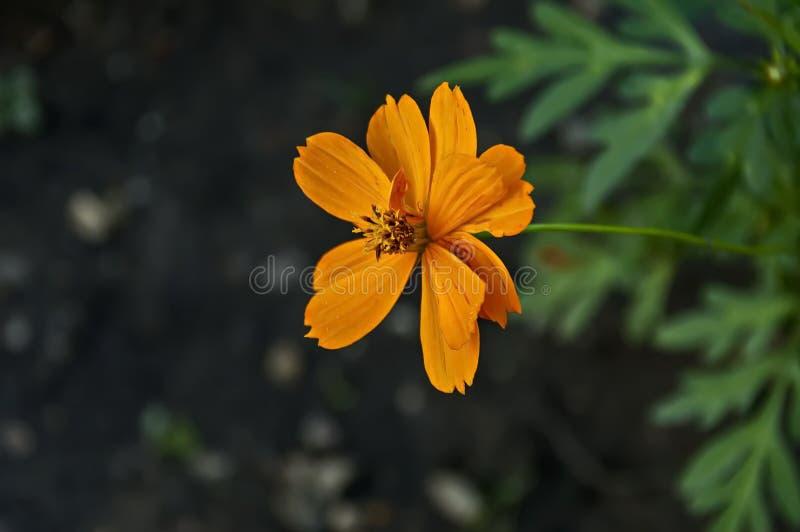 Orange Kosmosblume mit Blättern am Garten stockbild