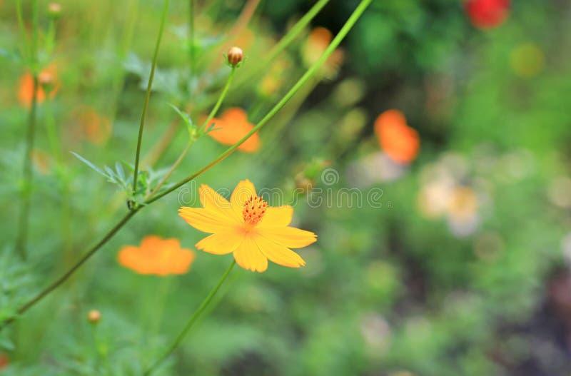 Orange Kosmosblumen der Nahaufnahme im Garten lizenzfreie stockbilder