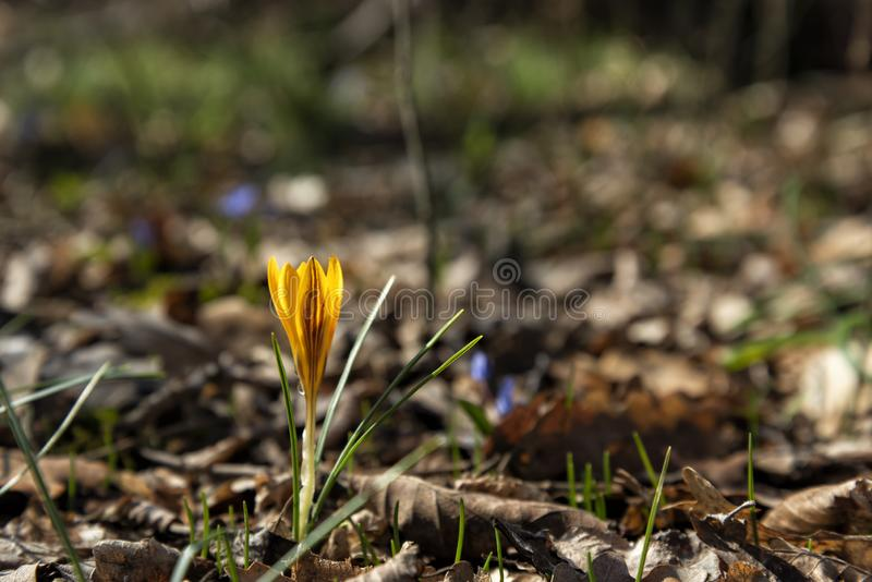 Orange krokusblomma p arkivbilder