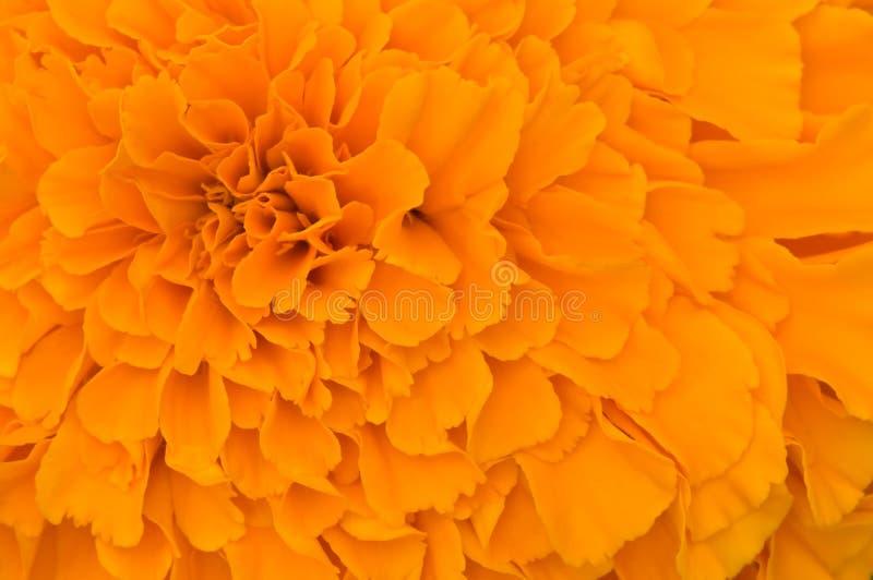Orange kronbladtextur fotografering för bildbyråer
