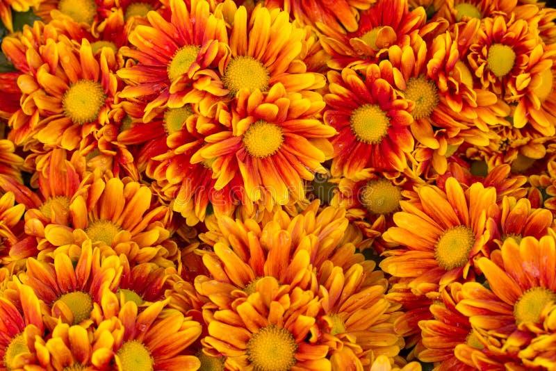 Orange krysantemumblommabakgrund arkivfoton