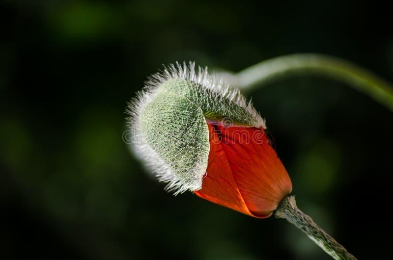 Orange lös vallmoblomma i blom Härlig närbild för vårblommakronblad arkivfoton
