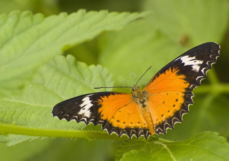 Orange Lacewing Buttterfly. Macro of orange lacewing butterfly on green leaf stock image
