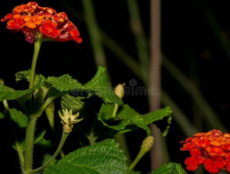 Orange Lantana-Blumen tauchen nach Wüsten-Monsun-Regen auf stockfoto