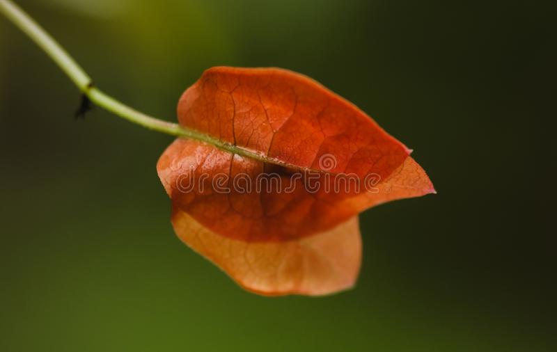 Orange Leave In The Morning royalty free stock image