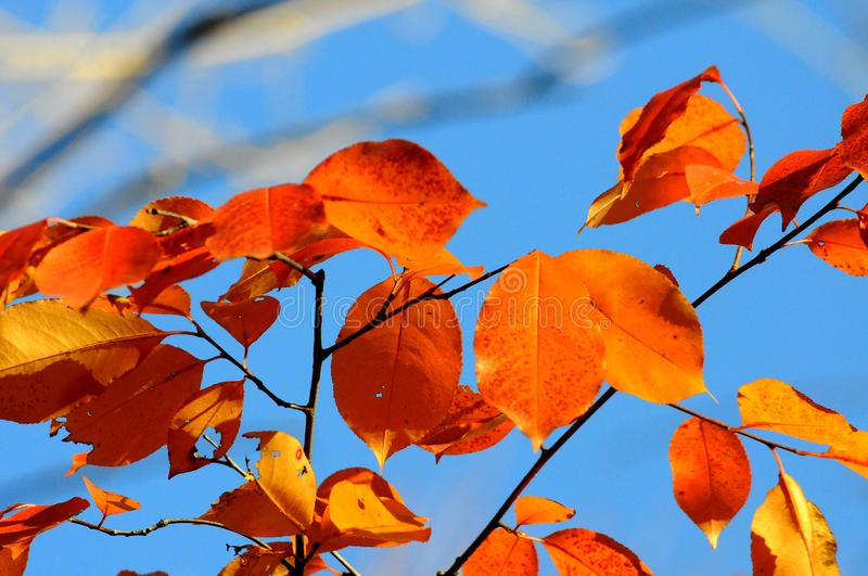 Macro photography leaves, tree, sky. Orange leaves against a blue sky. Macro photography leaves, tree, sky royalty free stock images