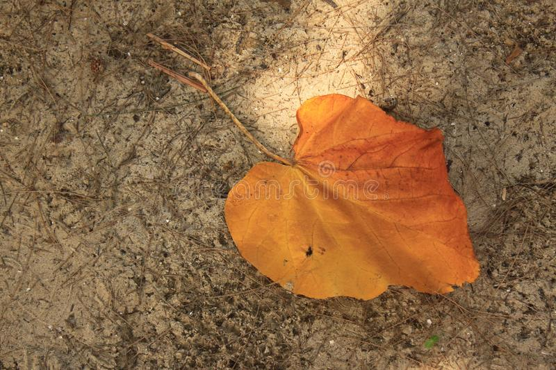 Orange leaves change color by season. royalty free stock images