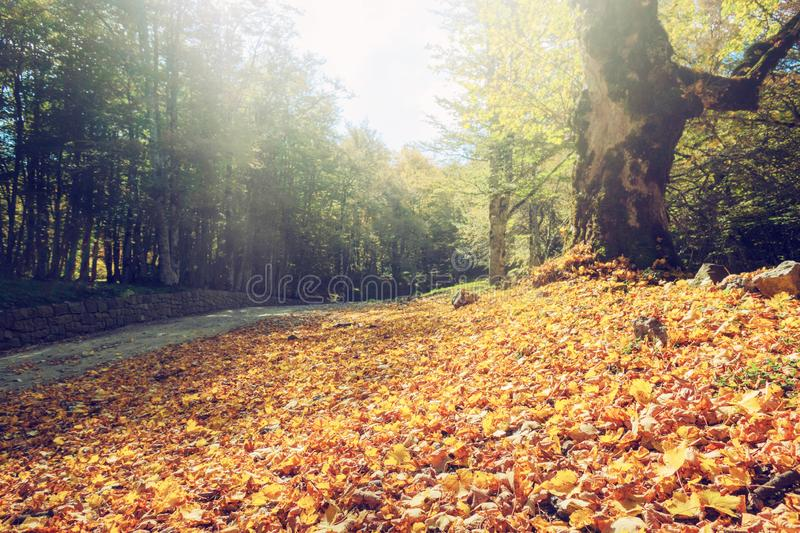 Orange leaves on the ground. Concept of fall and autumn. Orange leaves on the ground in a forest. Concept of fall and autumn royalty free stock photography