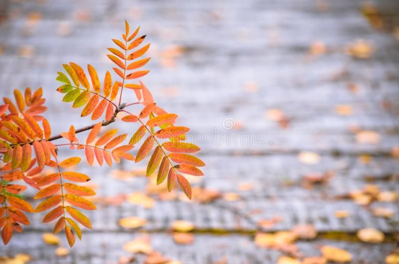 Orange leaves of a mountain ash against the background of wooden boards. In autumn stock photos