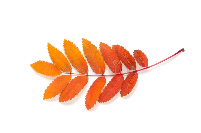 Orange leaves mountain ash with stains isolated on a white. In the photo royalty free stock photo