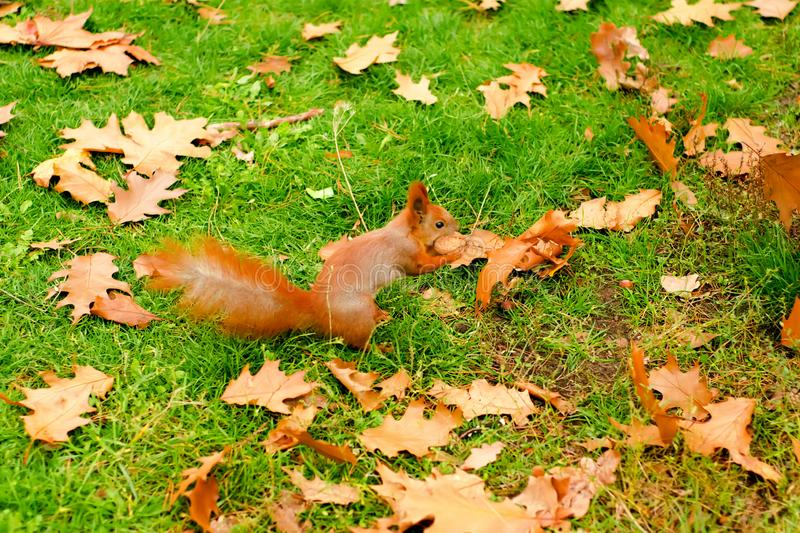 Orange leaves of a squirrel with nuts royalty free stock photo